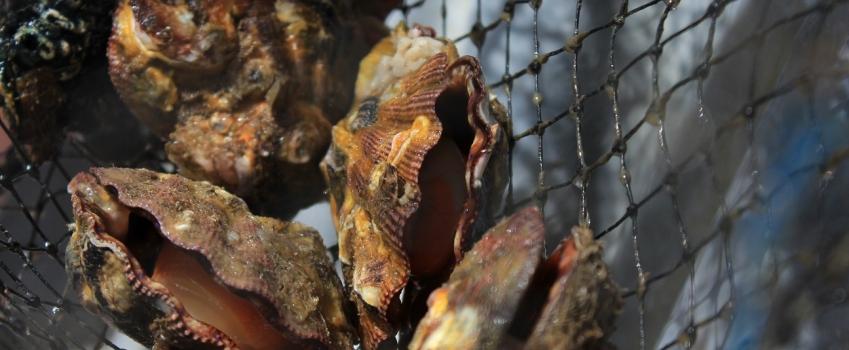 Secretaria de Agricultura e Abastecimento de SP é pioneira em pesquisas com produção de moluscos marinhos no Brasil